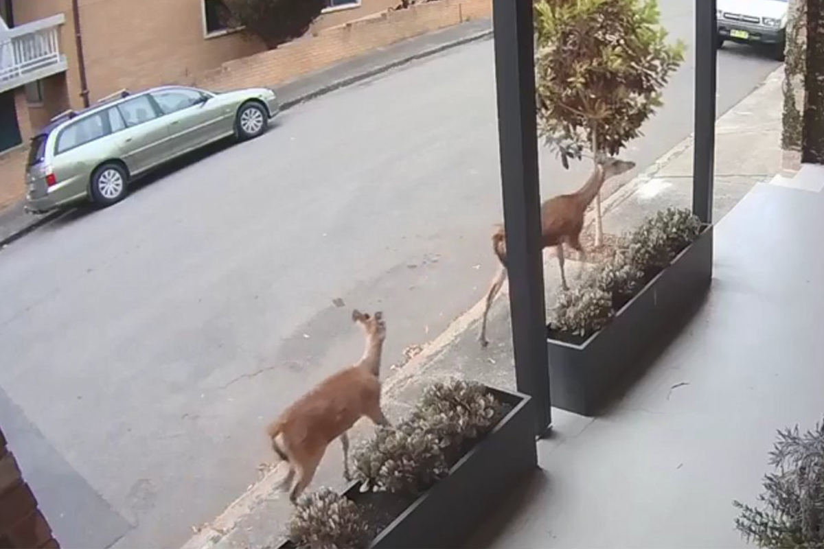 Christmas Comet Sydney Saturday 2020 Deer running through the centre of Sydney, Australia's most