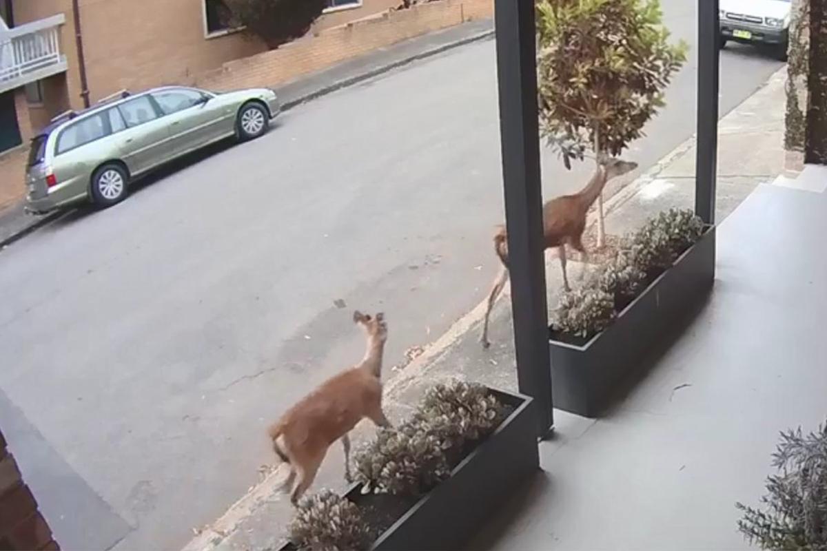 two deers, deers